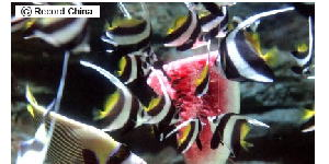 スイカを食べる熱帯魚